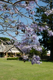 2017-10 Church & Rectory with Jacarandas 25
